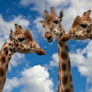 Percorsi Comunicazione Non Violenta giraffe