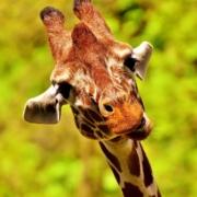 Comunicazione Non Violenta: giraffa