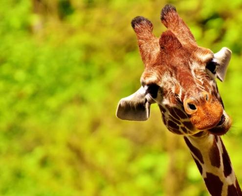 Comunicazione Non Violenta - Linguaggio giraffa