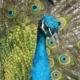 Comunicare efficacemente: ruota del pavone